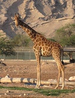 250px-Giraffa_camelopardalis_camelopardalis__28Al_Ain_Zoo_2C_UAE_29_2C_crop__26_flip.jpg
