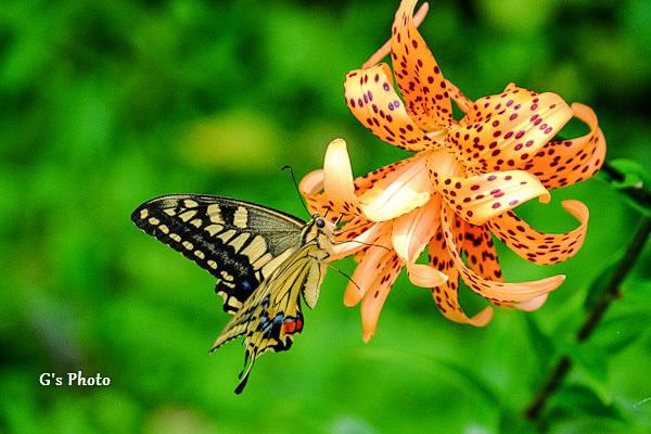 アゲハ蝶とオニユリ20200719
