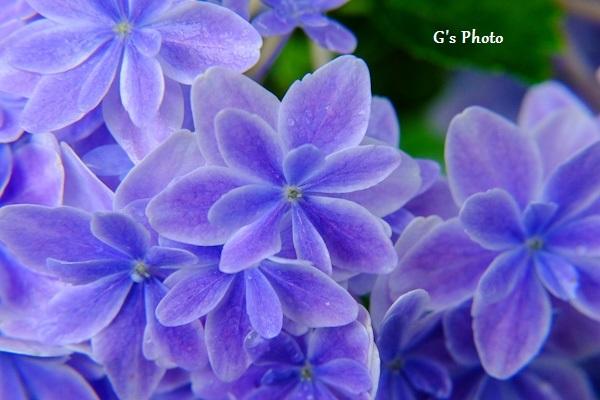 紫のアジサイ20200701