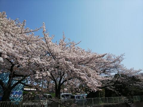 2020年 桜も見納めかな
