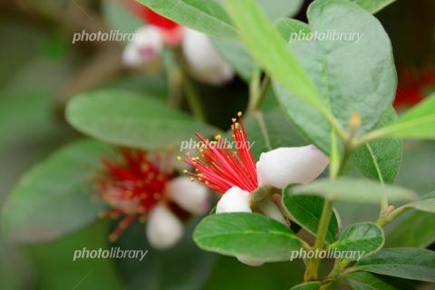 6405094 フェイジョアの花
