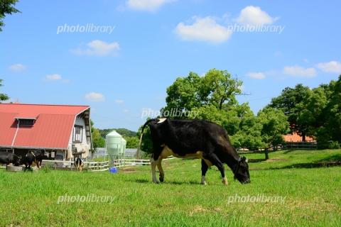 6445814 牧場の牛