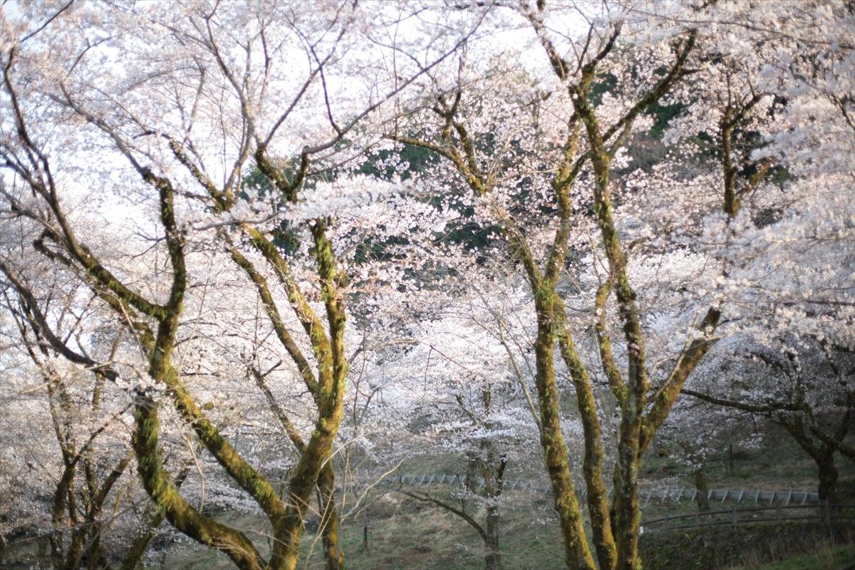 2020.03 桜
