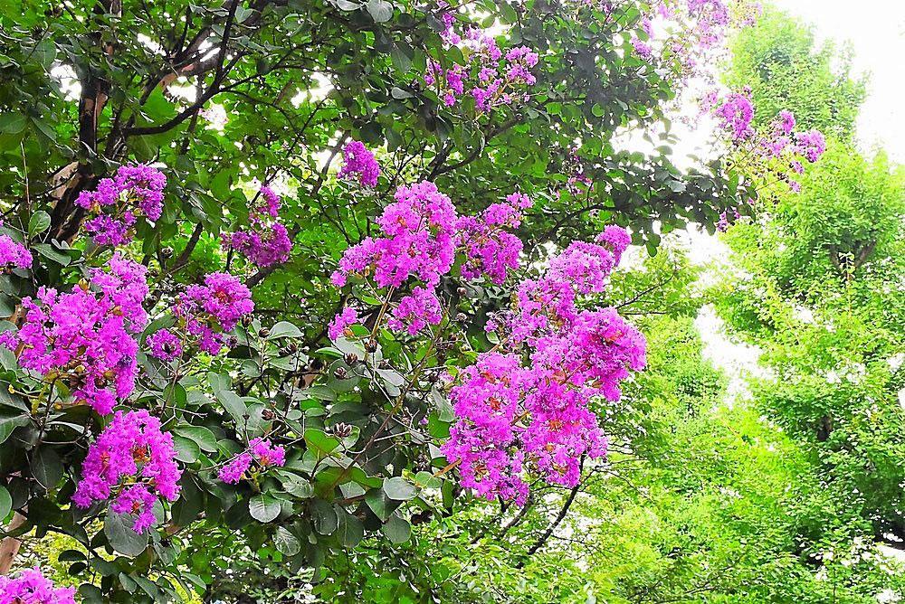 百日紅の花の色-むらさき-開花期