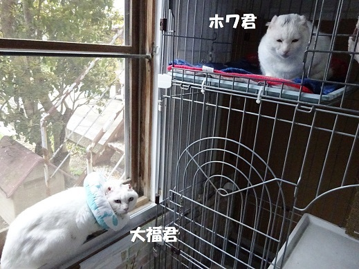 大福・ホワ1
