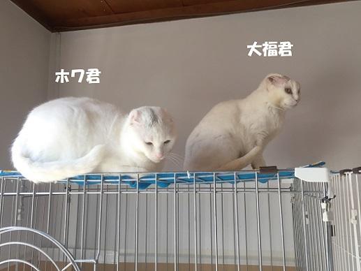 ホワ・大福1