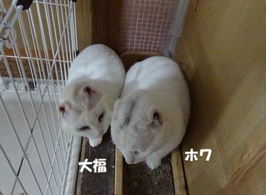 大福・ホワ2
