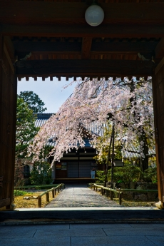 2020_sakura_kyoto_27.jpg
