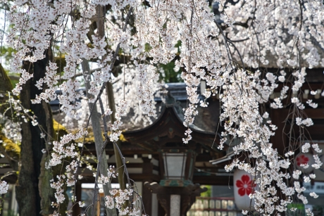 2020_sakura_kyoto_32.jpg
