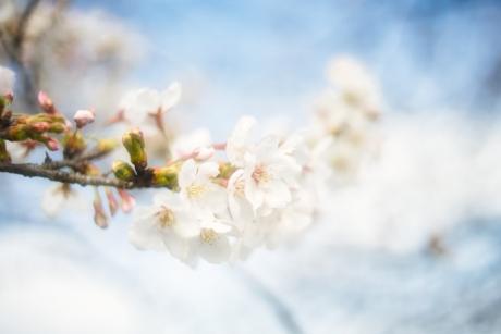 _arigato_sakura_2.jpg