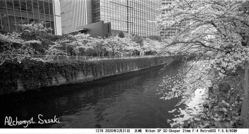 大崎・目黒川の桜1276-33a