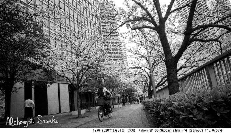 大崎・目黒川の桜1276-36a