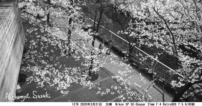 大崎・目黒川の桜1276-38a