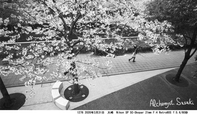 大崎・目黒川の桜1276-42a