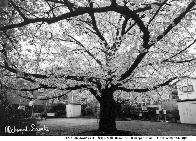 戸越の桜1276-2