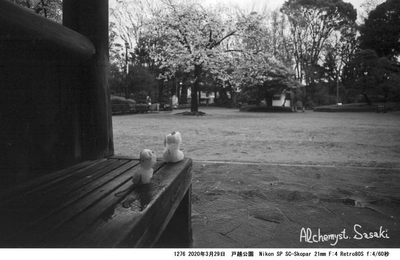 戸越の桜1276-9
