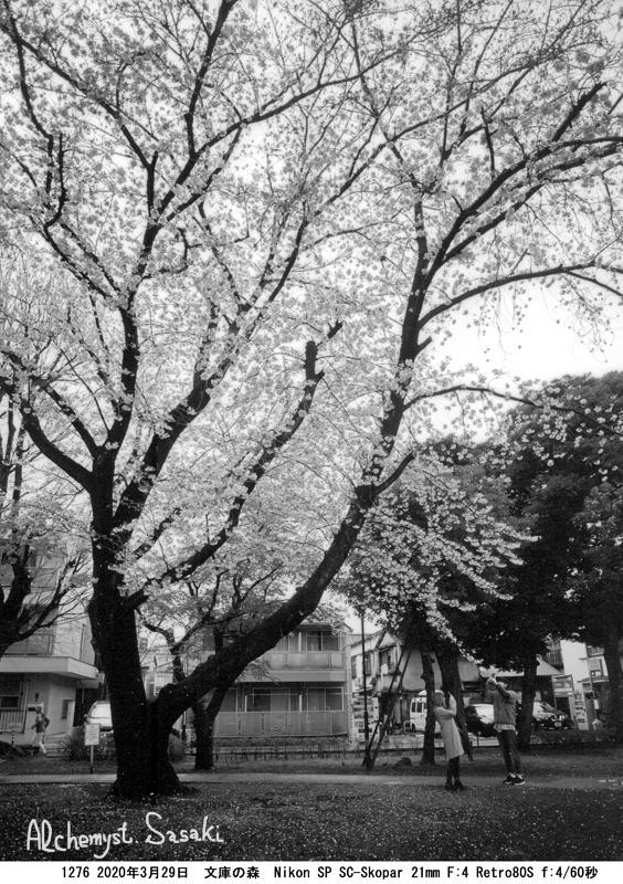 戸越の桜1276-14