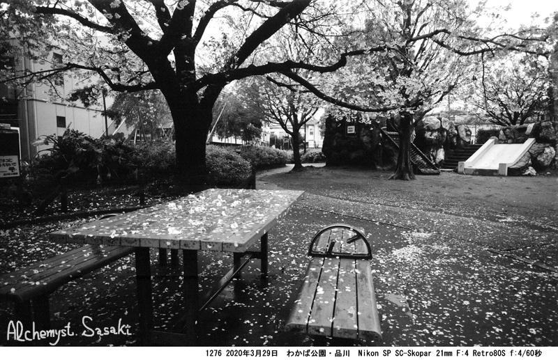 戸越の桜1276-19