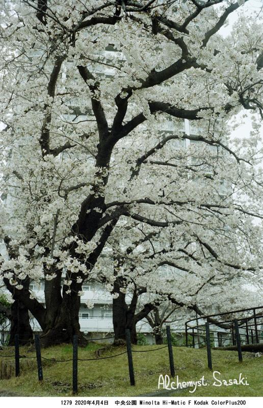 中央公園の桜1279-32