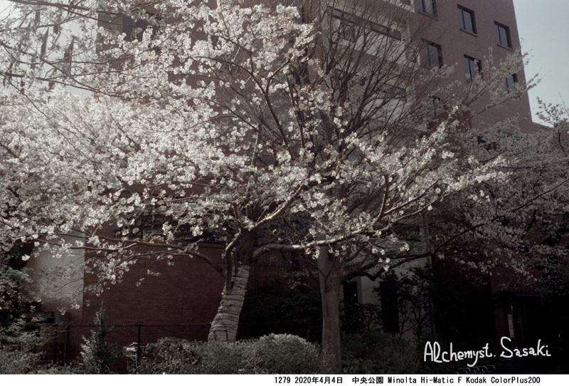 中央公園の桜1279-36