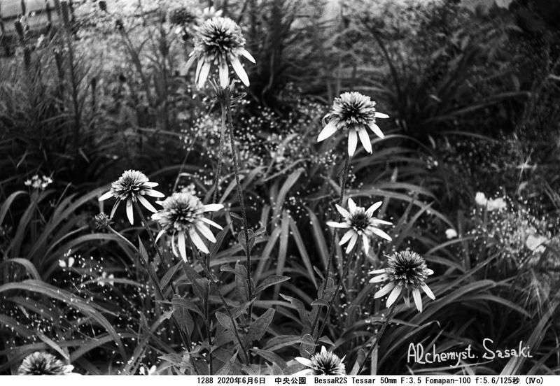 中央公園の植物1288-5