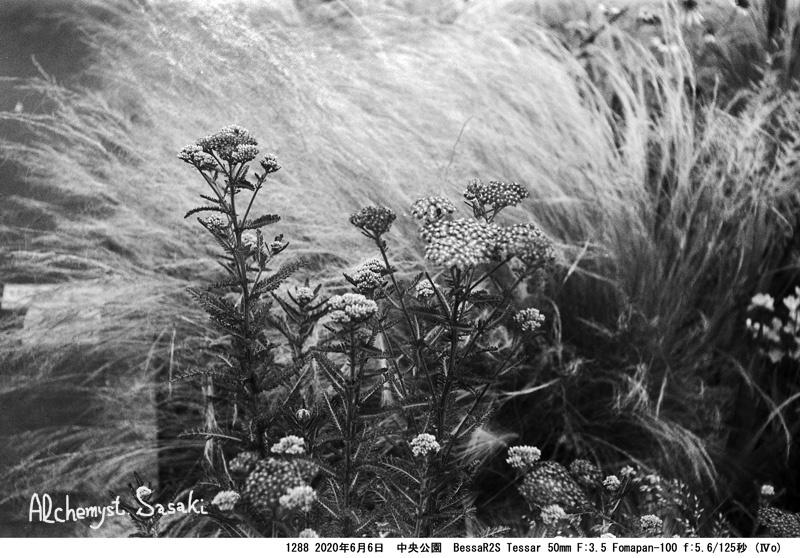 中央公園の植物1288-6
