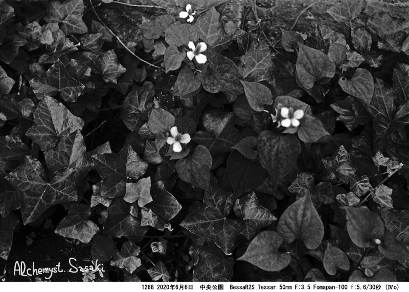 中央公園の植物1288-7