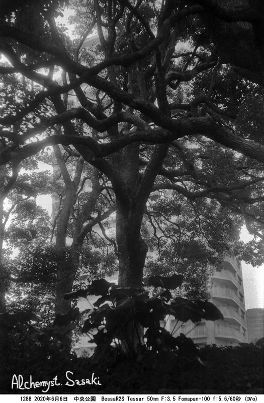 中央公園の植物1288-10