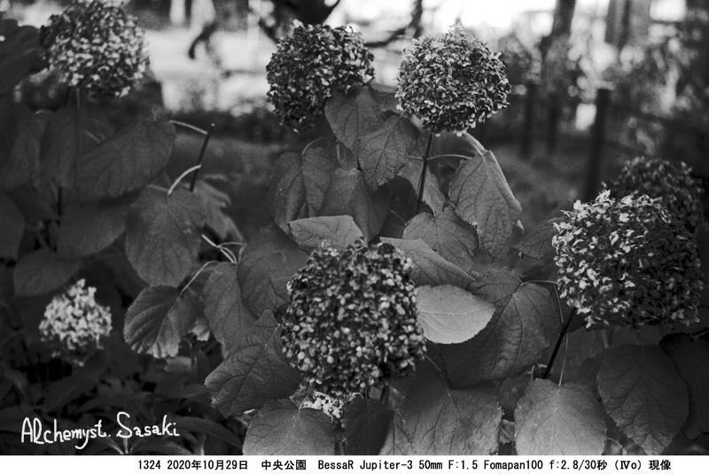 あじさい Fomapan100 (Ⅳo)1324-24