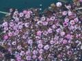 岸辺の紅梅花