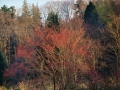 赤らむ木々(山桜)