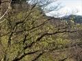 イワガラミの芽吹き