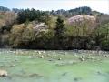 山桜咲く青葉山と広瀬川