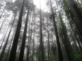 幻想的な檜林