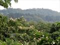 合合歓の咲く山