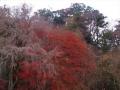 城下の紅葉木.