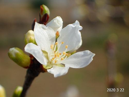 s-山桜桃梅20200322