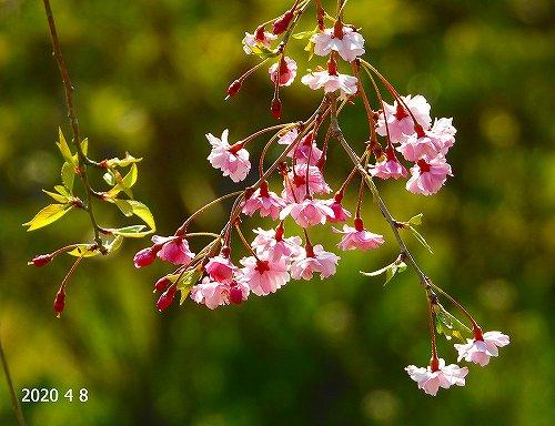 s-枝垂れ桜20200408
