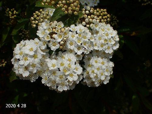 s-シモツケ20200428