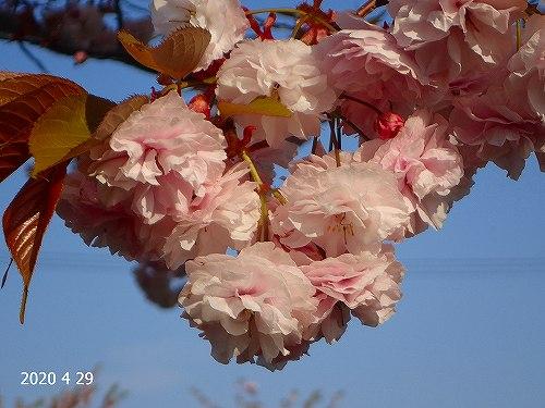 s-桜20200429