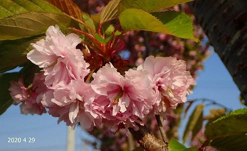 s-桜③20200429