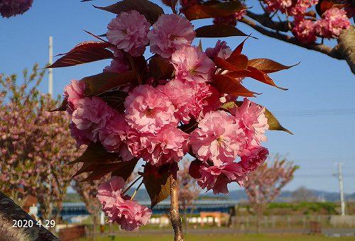 s-桜②20200429