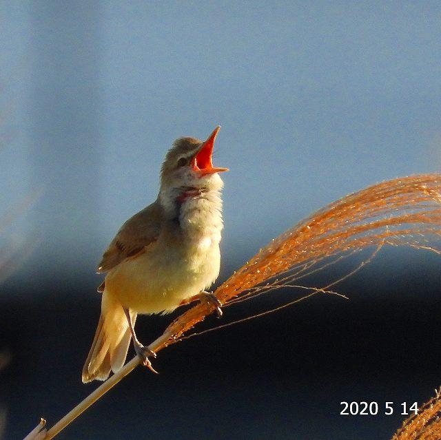s-ヨシキリ②20200514
