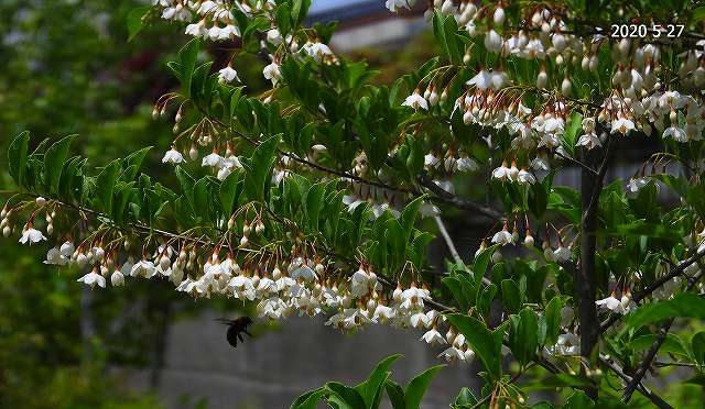 s-エゴの花とハナムグリ20200527