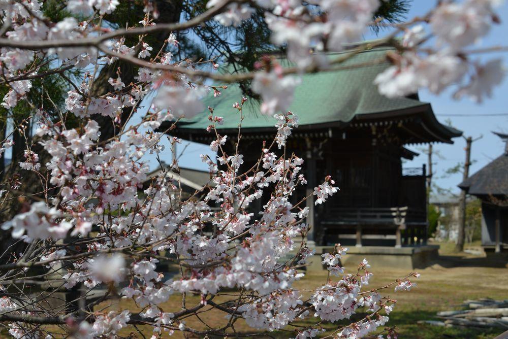梅か桜か-1