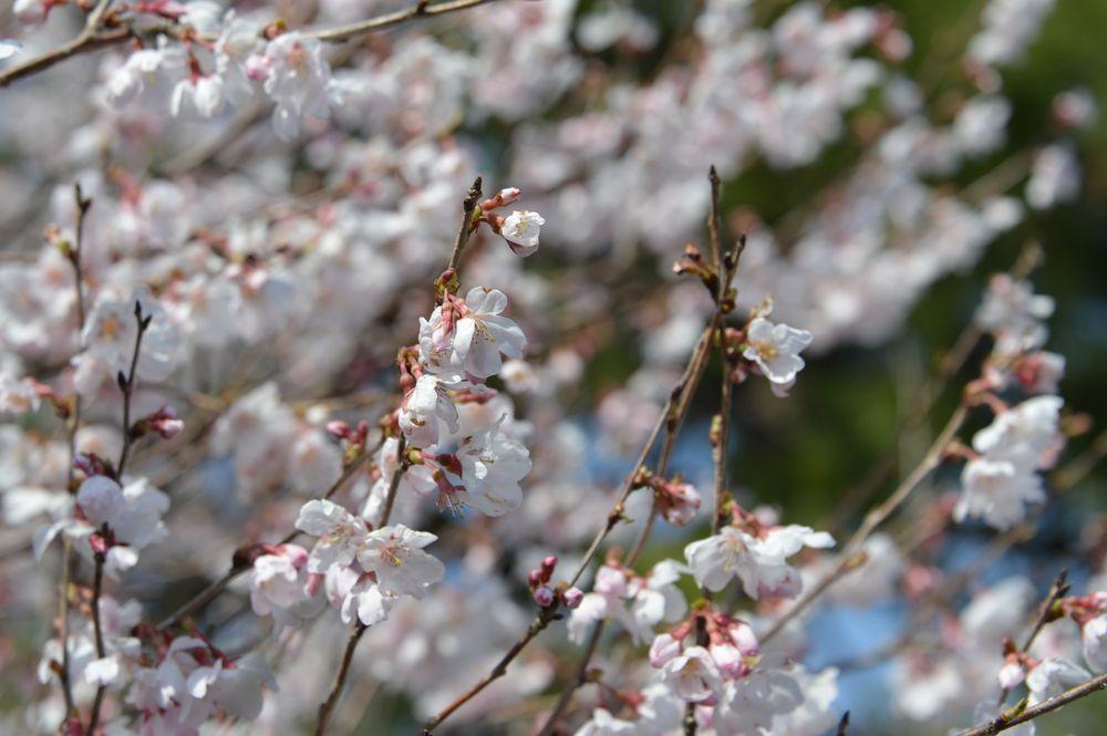 梅か桜か-3