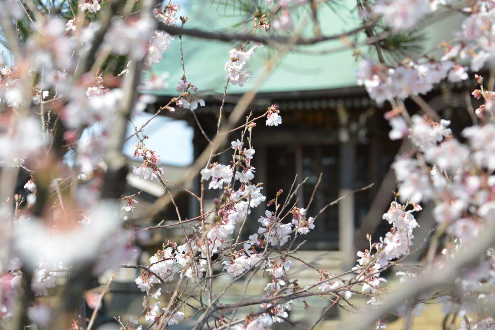 梅か桜か―2