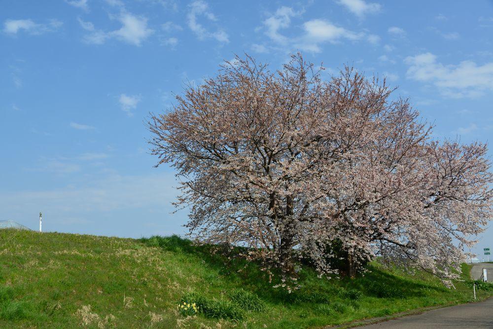 好きな桜-1