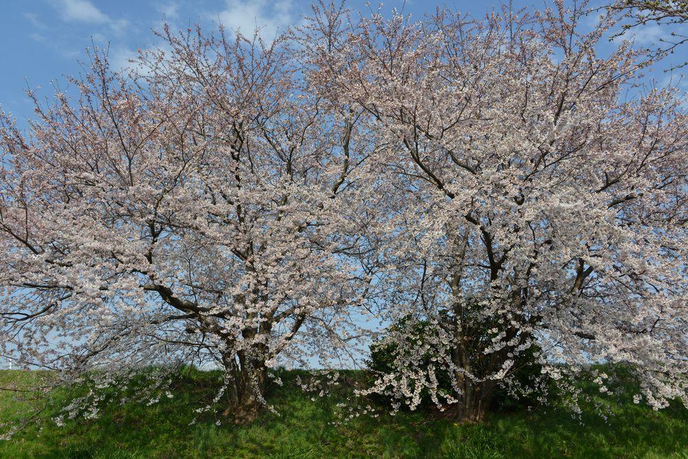 好きな桜-2