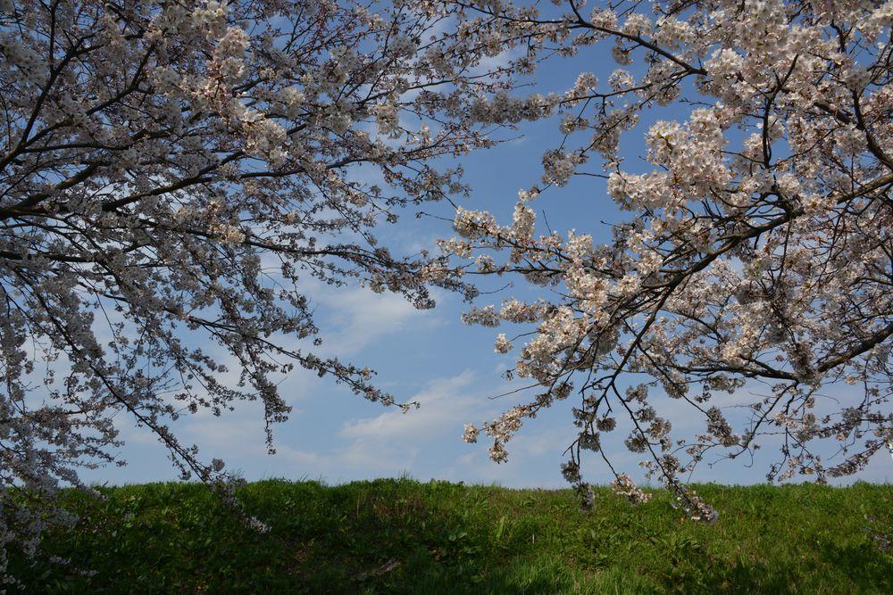 好きな桜-4